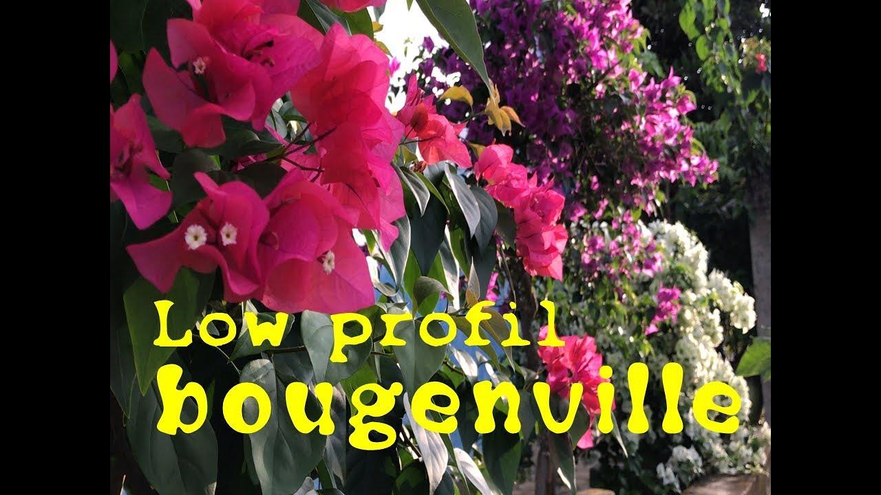 Citra Bunga Bougenville Cantik Tetap Low Profil Menghiasi Setiap Sudut Rumah Taman Dan Tepi Jalan Youtube