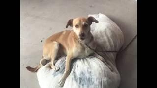 Kendine sakso çeken sayko köpek