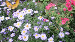 Видео для детей Осенние цветы сентябринки Разные виды