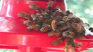 Thirsty Honey Bees On A Humming Bird Feeder!!!