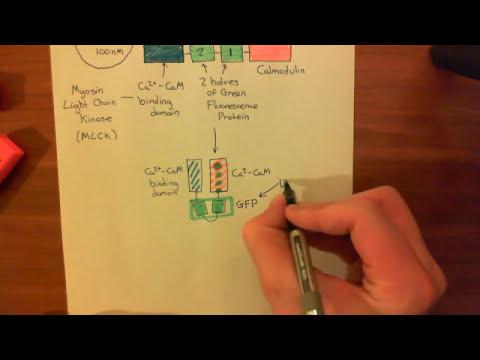 Calcium Sensors - GCaMP