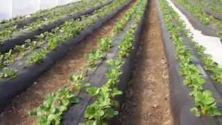 Выращивание клубники в теплице(клубника в теплице., 2015-11-10T09:32:21.000Z)
