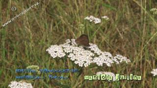 Meadow brown butterfly on Achillea millefolium - zandoogje