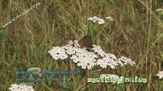 Meadow brown butterfly on Achillea millefolium - zandoogje