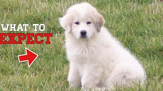 What to expect when bringing home a Great Pyrenees puppy