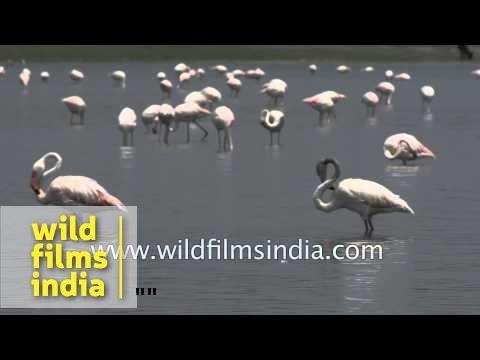 Group of Greater Flamingos : Bird Sanctuary Thol