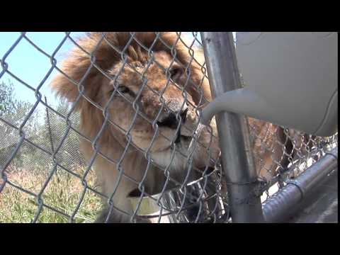 Bolivian Lion Rescued From Bolivian Circus by Animal Defenders International