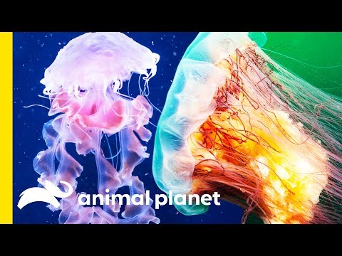 The Painful Science Behind Jellyfish