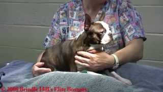 Repeat youtube video Boston Terrier Dog C-Section Full Procedure