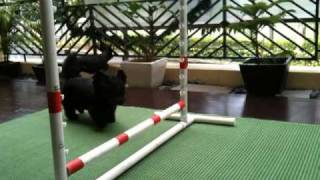 Scottish terrier gets distracted during training