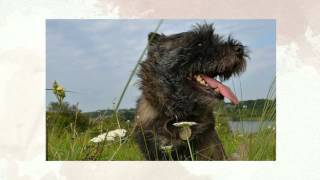 Training A Cairn Terrier Puppy