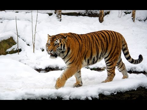 Siberian Tiger Documetary HQ 720p