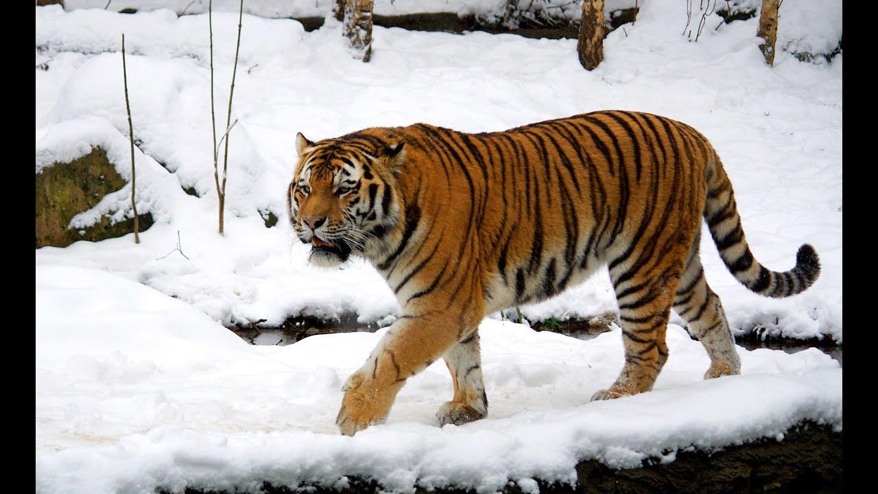 tiger - photo #45