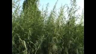 VIDEO - Canabis sau Canepa? Planta e la discretie pe marginea drumului dintre Smeeni si Bradeanu