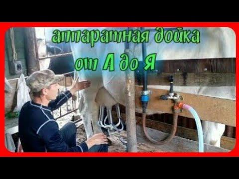 Чистое молоко эстафета//аппаратная дойка коров