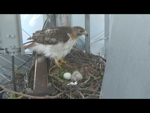 Baby hawk has hatched from its egg in nest on KJRH tower