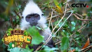 [正大综艺·动物来啦] 如何辨别出白头叶猴猴王?   CCTV