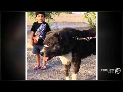 Aryan Molossus Dog Breed Youtube