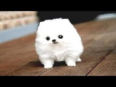 22 Tiniest Dog Breeds in The World!