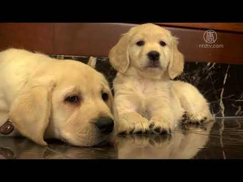 美国人最爱哪种狗狗?小拉连续27年夺冠(拉布拉多犬_最爱的狗狗)