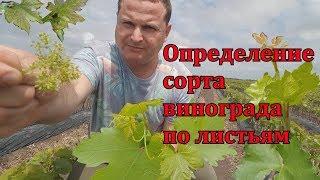 помогите определить сорта винограда