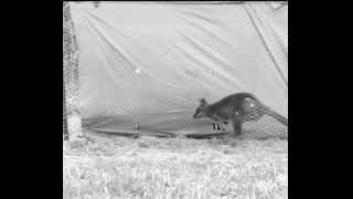 Tammar wallaby movie