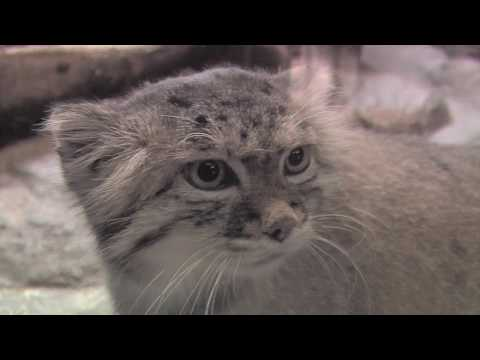 The Unfluffy Truth about Pallas Cats at Prospect Park Zoo