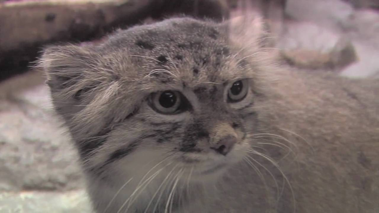The unfluffy truth about pallas cats at prospect park zoo youtube publicscrutiny Images