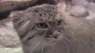 The Unfluffy Truth about Pallas' Cats at Prospect Park Zoo