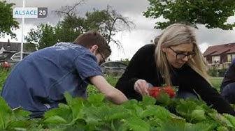 Envie de fraises ? En Alsace, les cueillettes se multiplient !
