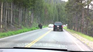 Repeat youtube video Bison crossing road in Yellowstone