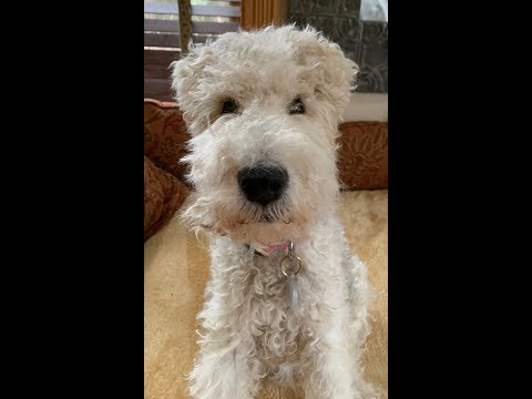 RAINBOW IS RESCUED - ABANDONED WIRE FOX TERRIER GIRL