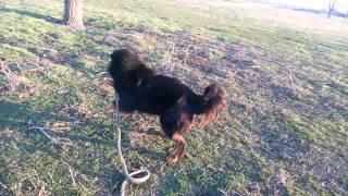 Банхар, монгольский банхар, mongol dog