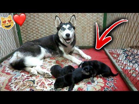 اخيرا كلبتي لوسي جابت عيال !! شوفوا كم جابت 😻🔥