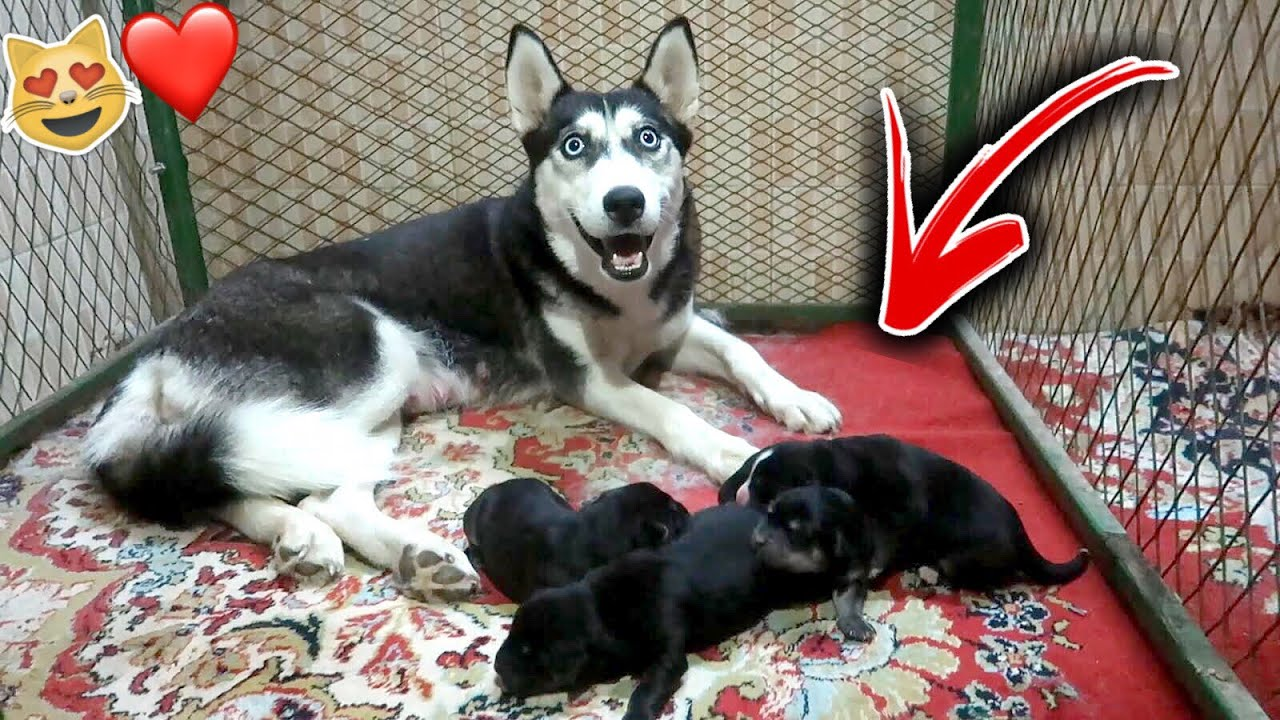 اخيرا كلبتي لوسي جابت عيال من روكي !! شوفوا كم جابت 😻🔥