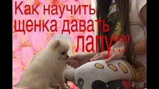 Как научить щенка давать лапу??? Дрессировка щенка шпица!!! Adi _ Tami