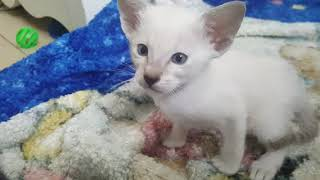 Nala's last litter (havana brown oriental mum, tabby point siamese kittens)