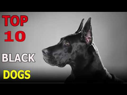 Top 10 BLACK dog breeds | Top 10 animals