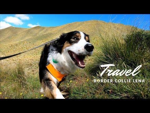 Dog New Zealand Travel Vlog | Border Collie Lena