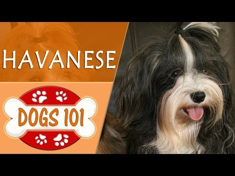 Dogs 101 - HAVANESE - Top Dog Facts About the HAVANESE