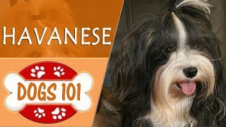 Dogs 101  HAVANESE  Top Dog Facts About the HAVANESE