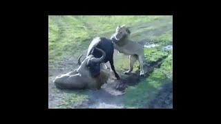Animal fights Animal attacks. 【動物】最も驚くべき野生動物の攻撃、...