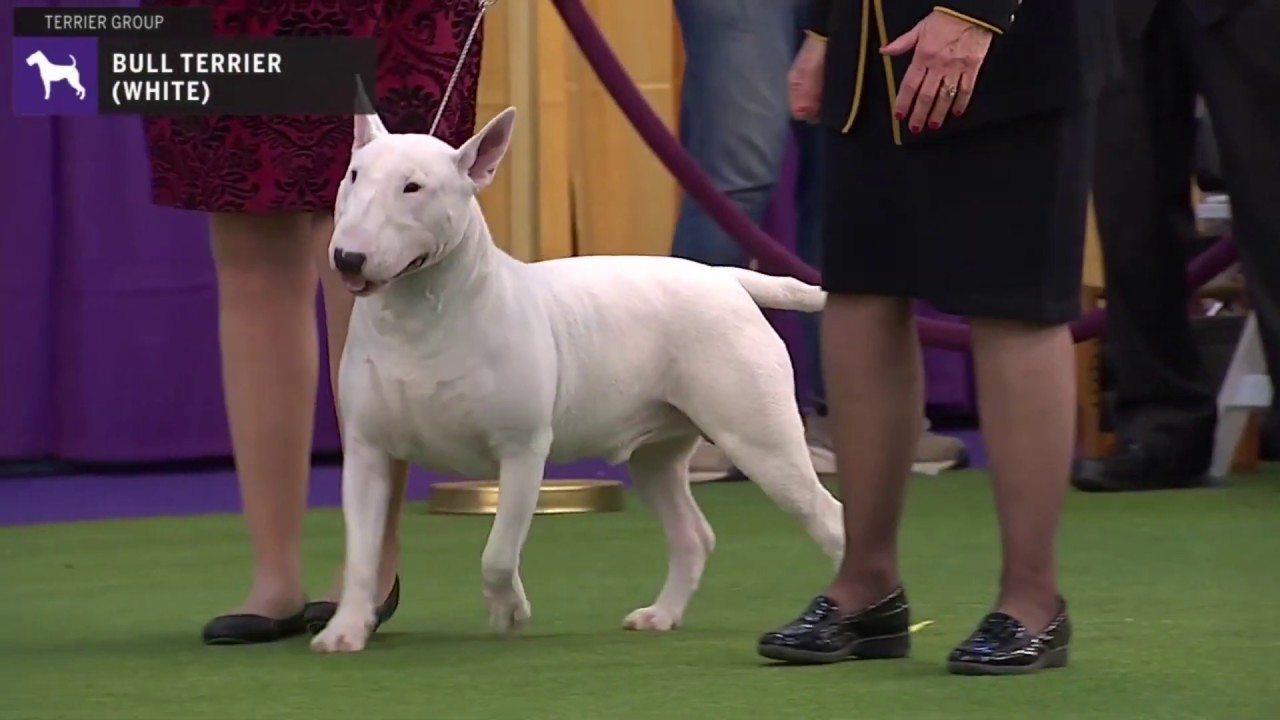 Bull Terriers White Breed Judging