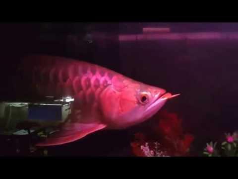 ปลามังกรแดงหางเพชร 4x400 บังแระ