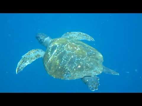 Green Sea Turtle (Chelonia Mydas) Eats Jellysfish Off Kicker Rock, Galapagos Islands