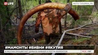 В Якутии процветает добыча бивней мамонтов и рогов носорогов