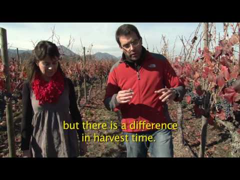 Harvest 2010: Conversations about Carmenere