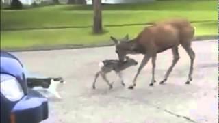 Прикол Кот и собака против оленя