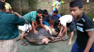 Big Cow Qurbani Bangladesh-2015, Part-2