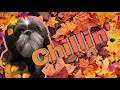 Just Chilling | George the Shih Tzu